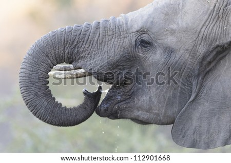 Young elephant drinking water close up - stock photo