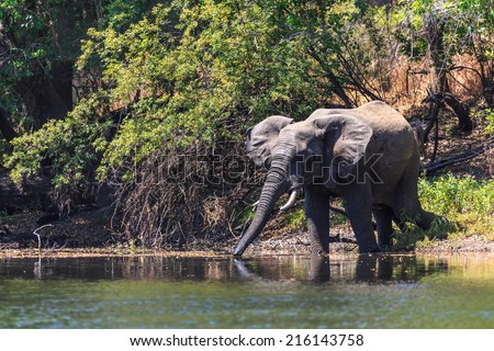 Young elephant drinking water in a river in a forest - stock photo