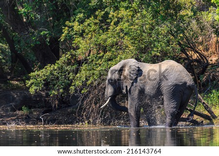 Young elephant drinking water in a river in a forest