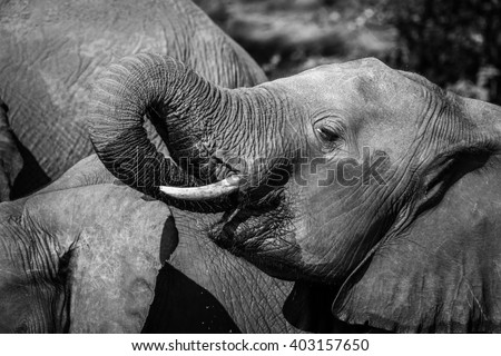 Young elephant drinking water with its trunk, Botswana - stock photo