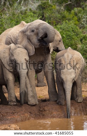 Young Elephant family at the drinking hole - stock photo