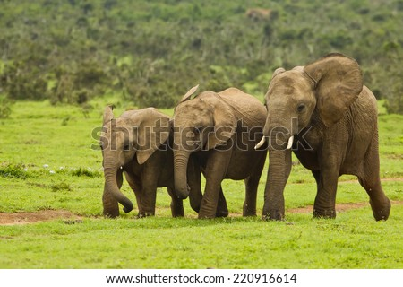 young elephant family running down a path to a water hole - stock photo