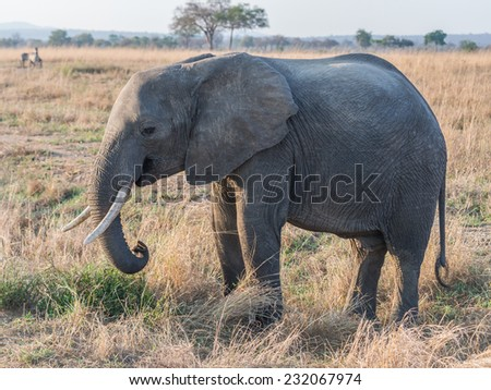 Young elephant on the savanna in Tanzania, Africa.