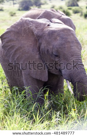 Young elephants  in Serengeti National park  - Tanzania, Africa