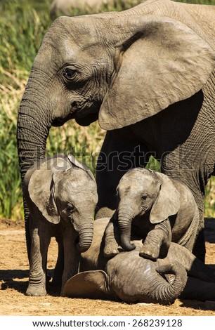 Young elephants playing - stock photo