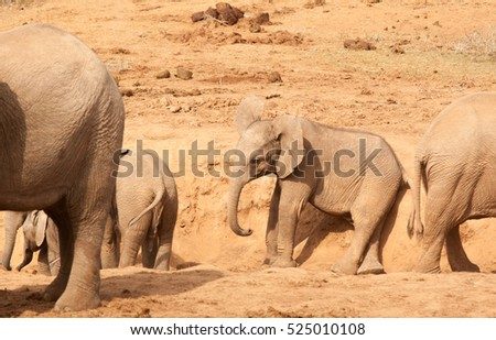 Young elephants playing around a watering hole in the dense thicket in the Addo National Park, Eastern Cape, South Africa