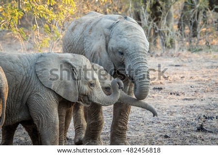 Young Elephants playing in the Kapama game reserve, South Africa.