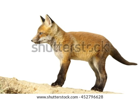 young european fox cub isolated over white ( Vulpes vulpes )