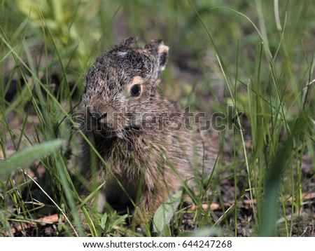 Young european hare sitting among spring grass