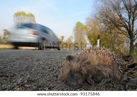 Young European Hedgehog (Erinaceus europaeus) hit by a car (road-killed) in Lombardy, Italy. - stock photo