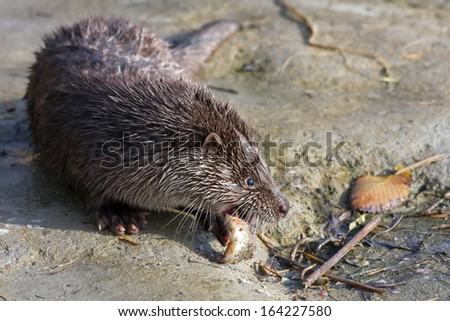 Young European otter (Lutra lutra) eats a catched fish