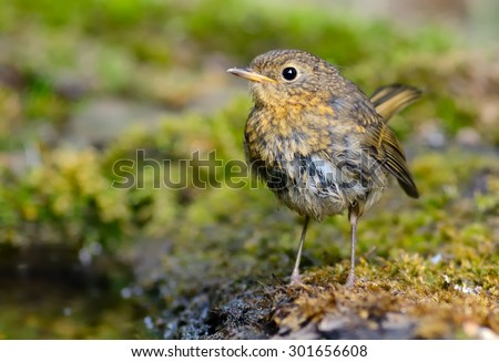 Young European robin (Erithacus rubecula) near water - stock photo
