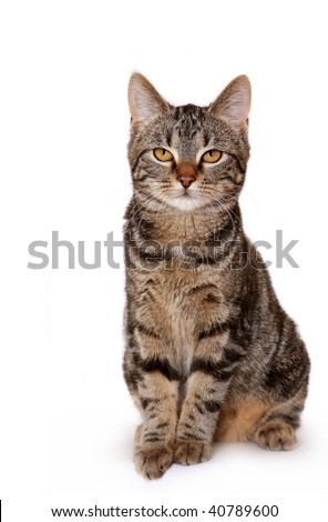 Young European Shorthair (5 months) in front of a white background