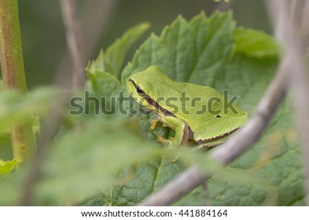 Young European Tree Frog (Hyla arborea) resting on a Leaf - stock photo