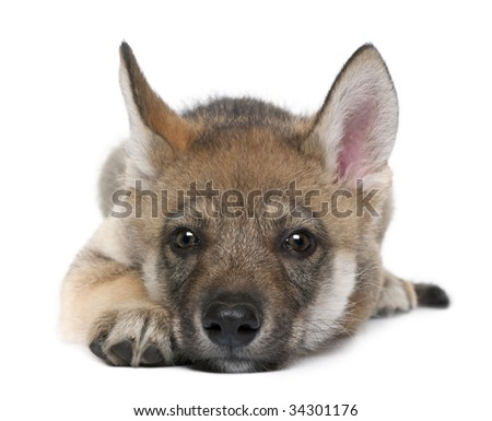 Young European wolf resting lying down and looking at the camera - Canis lupus lupus in front of a white background - stock photo