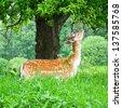 young fallow deer - stock