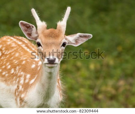 Young Fallow Deer - stock photo