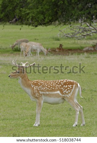 Young Fallow Deer buck with velvet on antlers standing in grassland