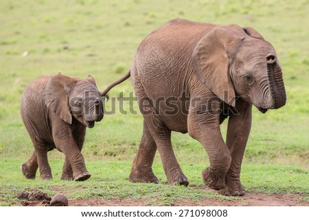 Young family of African elephants walking across the green grass - stock photo