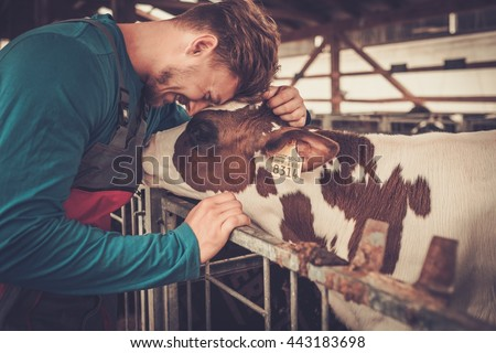 Young farmer and calf in the cowshed in dairy farm. - stock photo