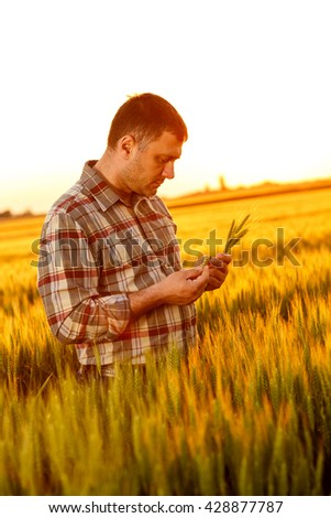 Young farmer in a field examining wheat crop at sunset.