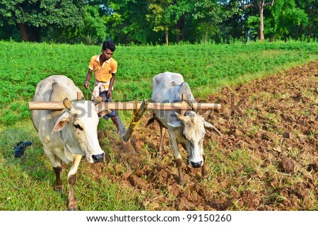 Young farmer plowing the farmland in the conservative way with wooden plough and bulls - stock photo