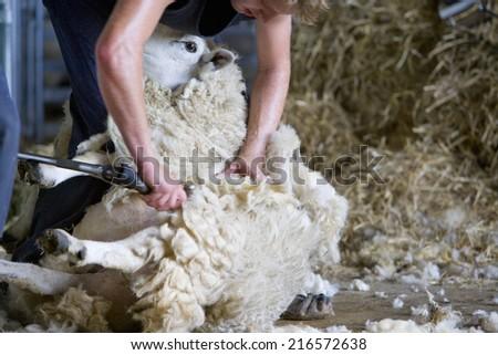 Young farmer shearing sheep for wool in barn - stock photo