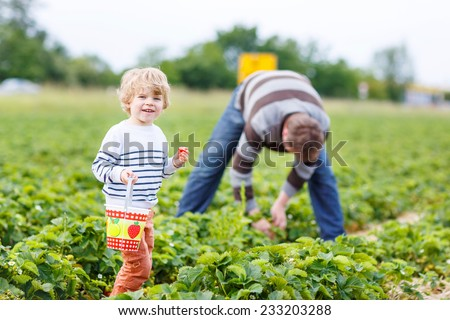 Young father and little son on organic strawberry farm in summer, picking berries. Family having fun and harvesting together. - stock photo