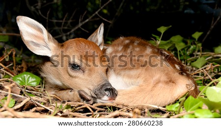 Young Fawn  - stock photo