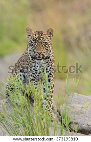 Young female African Leopard, South Africa - stock photo