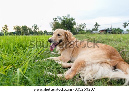 Young female Golden Retriever lay down on grass after hard play.