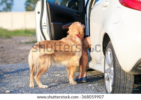 Young female golden retriever want to get in the car with women.