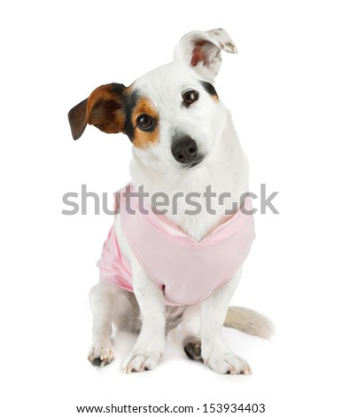 Young female Jack Russel with pink dress on white background