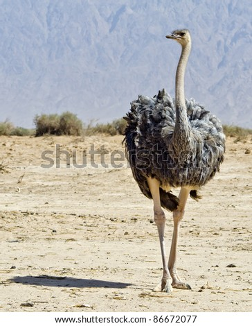 Young female of African ostrich (Struthio camelus) with their young chicks in the Negev desert, Hai Bar national reservation, Israel