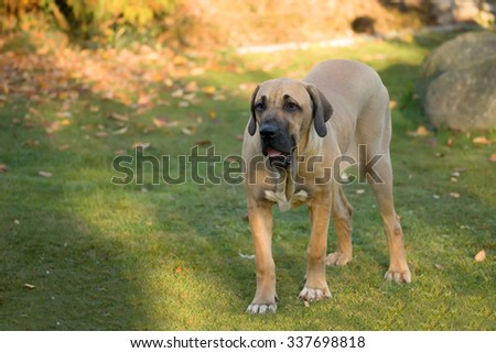 young female of Fila Brasileiro (Brazilian Mastiff) outdoor on green grass