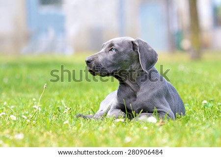 Young female weimaraner resting outside. - stock photo