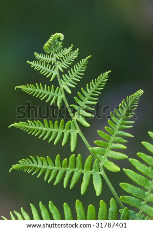 Young fern leaf