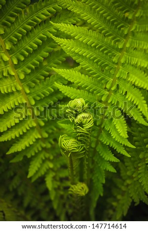 Young fern leaf. Nature background (Dry���³pteris, Dryopteridaceae) - stock photo