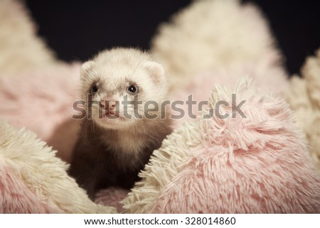Young ferret baby posing in bed