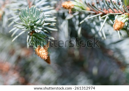 young fir branch - stock photo