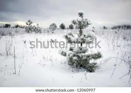 young firs in the field - stock photo