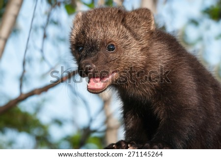 Young Fisher (Martes pennanti) Against Sky - captive animal - stock photo