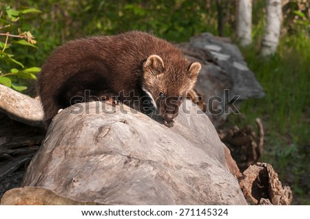 Young Fisher (Martes pennanti) Crawls Across Log - captive animal - stock photo