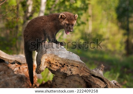 Young Fisher (Martes pennanti) Cries Out from Atop Log - captive animal - stock photo
