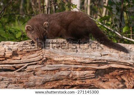 Young Fisher (Martes pennanti) Looks Down off Log - captive animal - stock photo