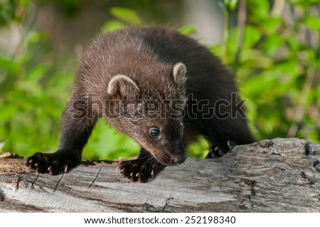 Young Fisher (Martes pennanti) Looks Right on Log - captive animal - stock photo
