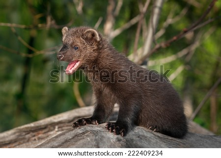 Young Fisher (Martes pennanti) Mouth Open Turned Left - captive animal - stock photo