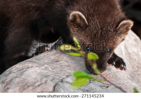 Young Fisher (Martes pennanti) Peers Between Leaves - captive animal - stock photo