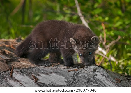 Young Fisher (Martes pennanti) Sniffing - captive animal - stock photo