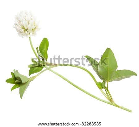 White Clover Drawing Young Flower of White Clover